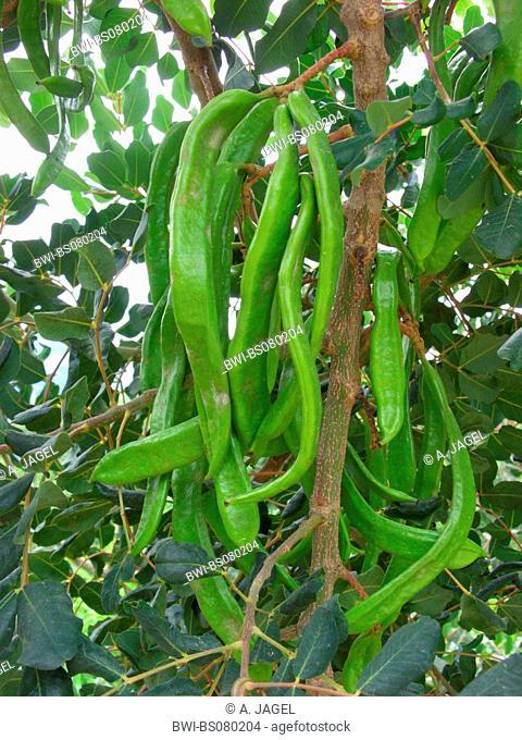 carob bean, St. John's bread (Ceratonia siliqua), twig with immature fruits, Balearen, Majorca