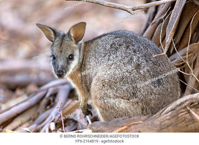 Tammar Wallaby (Macropus eugenii), Kangaroo Island, South Australia, Australia