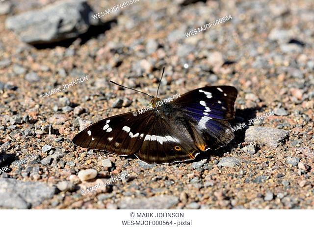 Purple Emperor, Apatura iris, with spread wings sitting on soil