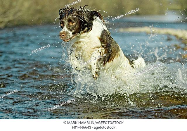 English Springer Spaniel dog running energetically through water. UK