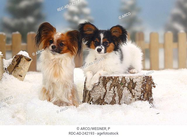 Papillon with puppy 18 weeks Continental Toy Spaniel Butterfly Dog
