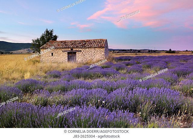 Stone House in Lavender field (Lavendula augustifolia), Sault, Plateau de Vaucluse, Alpes-de-Haute-Provence, Provence-Alpes-Cote d'Azur, Provence, France