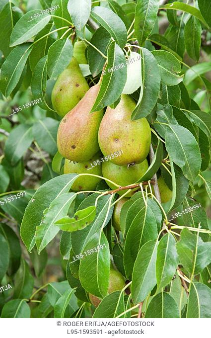 Pear tree Pyrus communis with fruits, Cerdanya valley, Spain