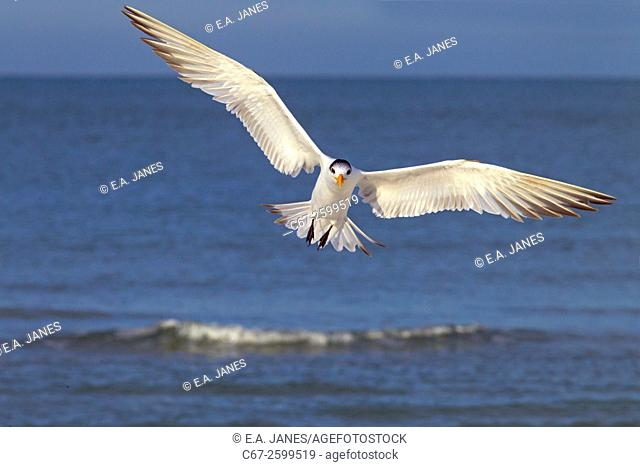 Royal Tern Sterna maxima in Flight Fort Myers beach Florida USA