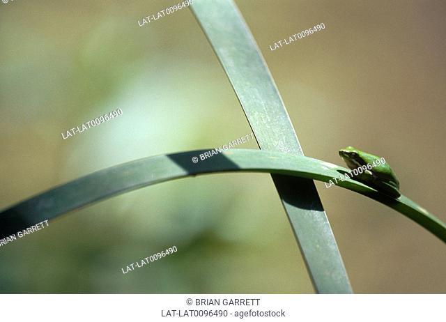 Mount Tamborine. Green frog on bullrush leaf