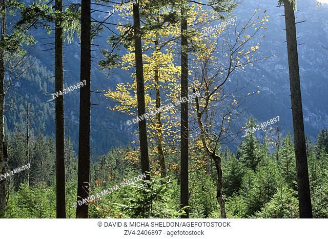 Landscape of Norway spruce (Picea abies) tree trunks and a yellow maple tree (Acer sp.) with hills in the background in autumn in Tirol, Austria