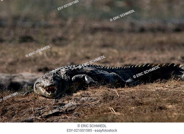 Crocodile baring teeth