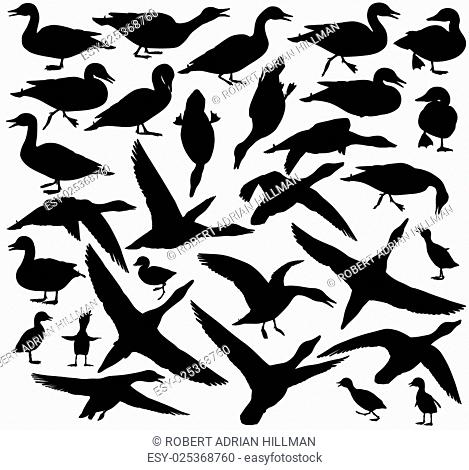 Set of EPS8 editable vector silhouettes of ducks and ducklings standing, walking, swimming, diving and flying