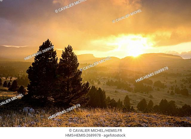 France, Isere, regional natural reserve of Vercors, Trieves, nature reserve of the high plateaus of Vercors, forest of Mountain Pine (Pinus uncinata) of plain...