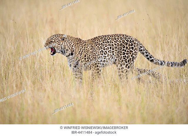 Leopard (Panthera pardus) female in the savannah, Masai Mara, Kenya