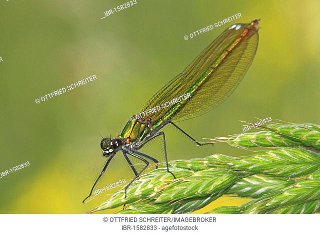 Banded demoiselle (Calopteryx splendens), female