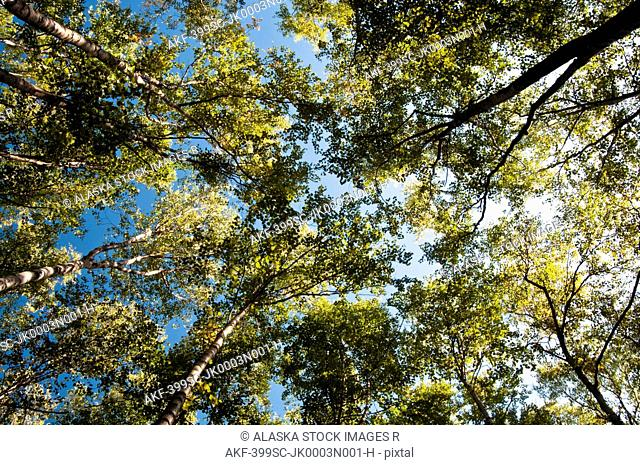 View looking straight up within a birch grove in Chugach State Park near Thunderbird Falls, Southcentral Alaska, Autumn