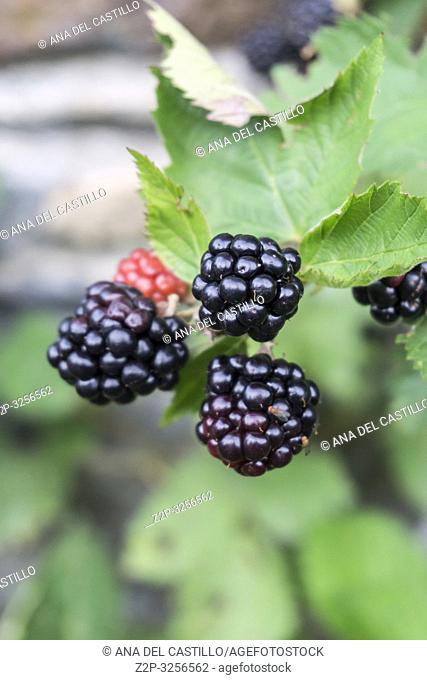 Wild blackberries Aran valley Spain