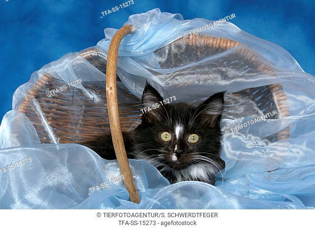 lying Norwegian Forest Kitten