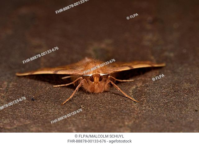 Feathered Thorn Moth (Colotois pennaria) adult at rest on stone, Monmouth Wales, September