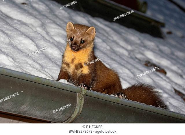 European pine marten Martes martes, in a roof gutter in snow, Germany