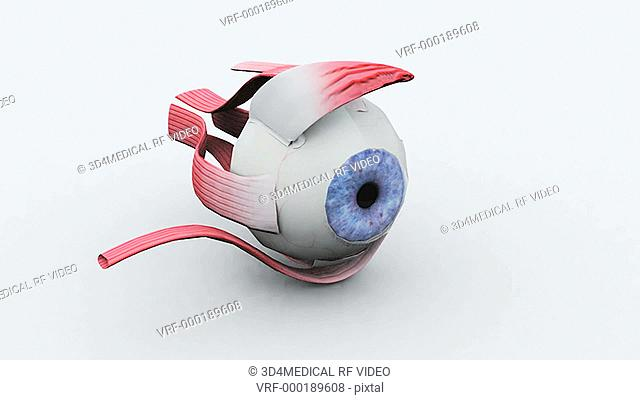 Animation depicting a full rotation of the human eye with surrounding eye muscles