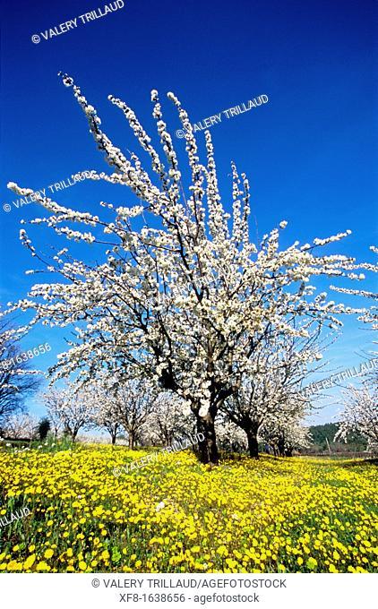 Blossom flowers, Luberon, Vaucluse, Provence-Alpes-Côte d'Azur, France