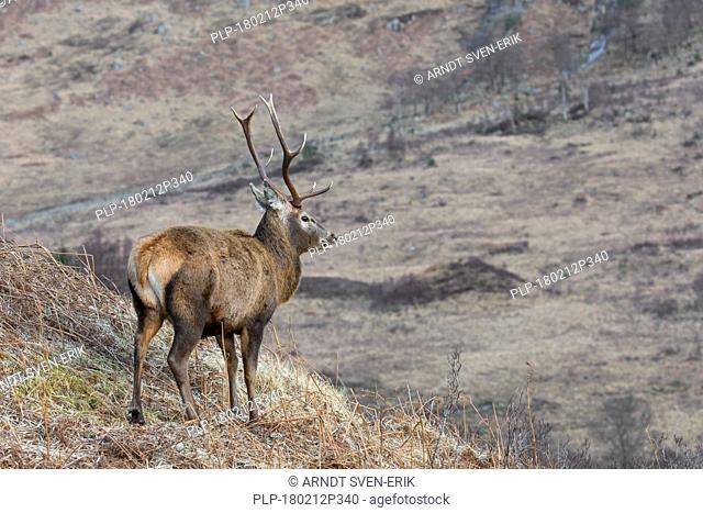 Red deer stag / male (Cervus elaphus) on mountain slope looking into valley in the hills in winter in the Scottish Highlands, Scotland, UK