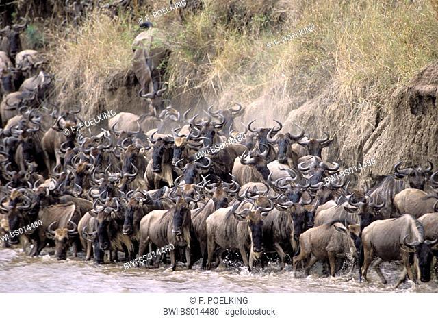 blue wildebeest, brindled gnu, white-bearded wildebeest (Connochaetes taurinus), herd crossing river, Kenya, Masai Mara National Park