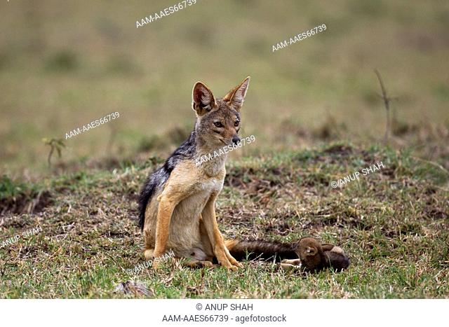 Black-backed jackal with playful pup aged 3 weeks (Canis mesomelas). Maasai Mara National Reserve, Kenya. Aug 2011