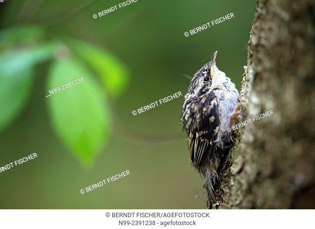 Tree creeper (Certhia familiaris), juvenile fledged, deciduous forest, Steigerwald, Franconia, Bavaria, Germany