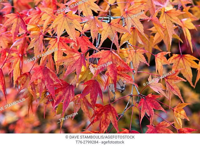 Stunning autumn colors at Tofuku-ji Temple, Kyoto, Japan