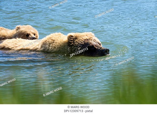 Alaskan coastal bears (ursus arctos) swimming in a lake, Lake Clark National Park; Alaska, United States of America