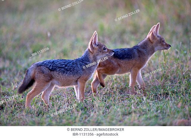 Black-backed Jackal (Canis mesomelas), two young in first daylight, Masai Mara National Reserve, Kenya, East Africa