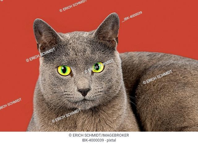 Russian Blue cat, portrait
