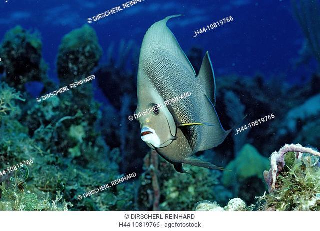 Gray angelfish, Pomacanthus arcuatus, British Virgin Islands, BVI, Caribbean Sea, Leeward Islands, fish, fishes, color