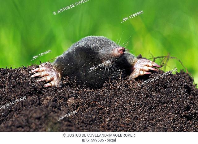 European Mole, Common Mole or Northern Mole (Talpa europaea) in a molehill on a green meadow