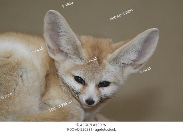 Fennec Fox, Vulpes zerda