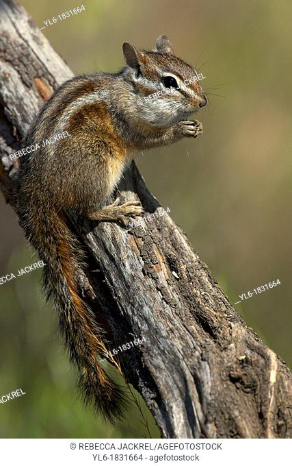 Merriam's chipmunk stuffing his cheeks with seeds