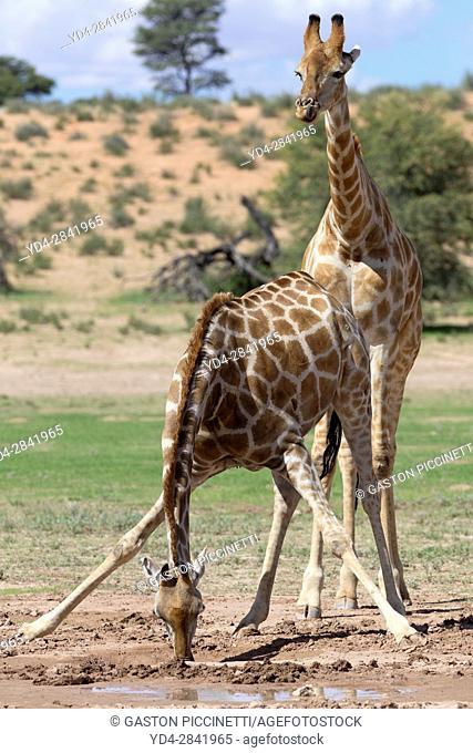 Giraffe (Giraffa giraffa giraffa), in the waterhole, Kgalagadi Transfrontier Park, Kalahari desert, South Africa/Botswana