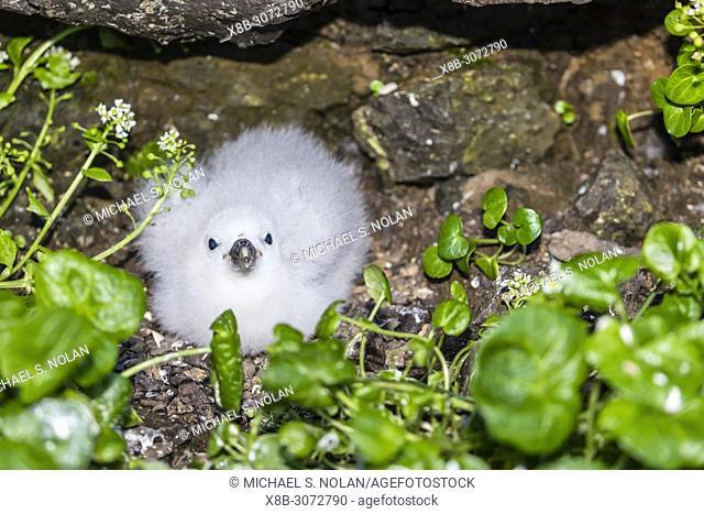 Northern fulmar chick, Fulmarus glacialis, Langanes Peninsula on the northeast coast of Iceland