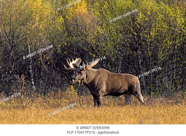 Moose (Alces alces) bull foraging in moorland with birch trees in autumn, Scandinavia
