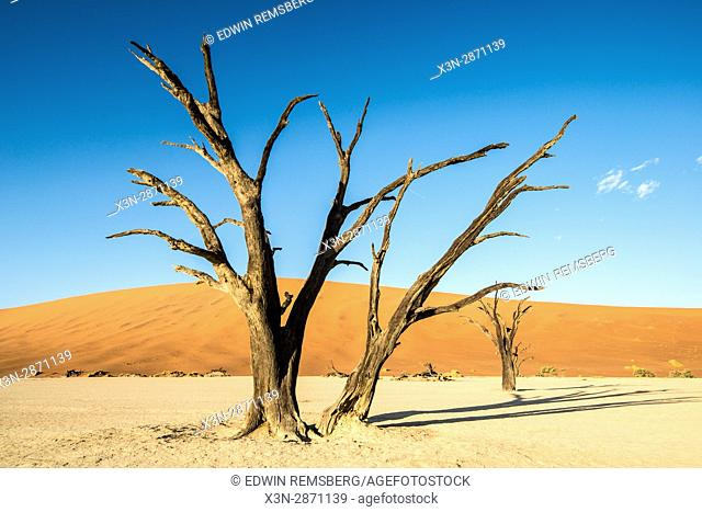 Dead acacia tree with the sunset in the Namib-Naukluft National Park in Namibia, Africa. Etosha, Namibia