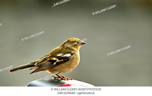 Female Common Chaffinch (Fringilla coelebs)