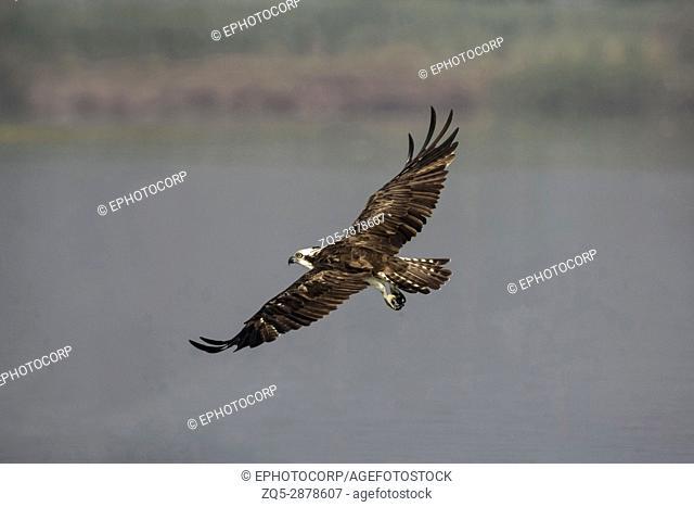Osprey in flight. Pandion haliaetus, also called fish eagle or sea hawk