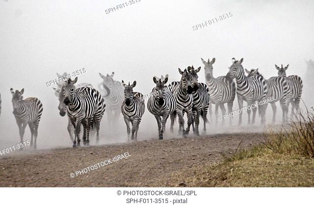 Annual migration of over one million Blue Wildebeest (Connochaetes taurinus) and 200, 000 zebras. Photographed in Spring April in Serengeti, Tanzania