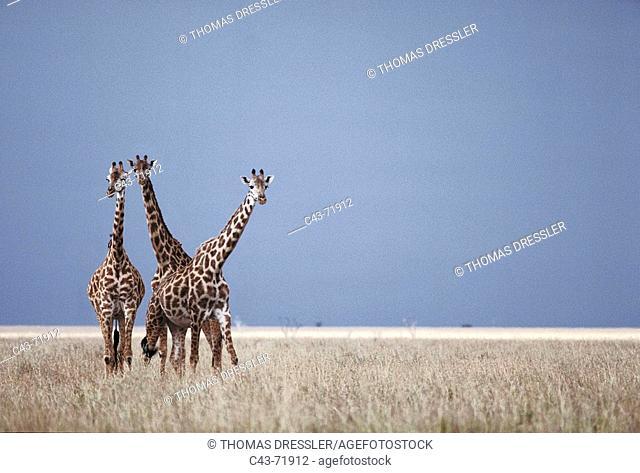 Kilimanjaro Giraffe (Giraffa camelopardalis tippelskirchi). Masai Mara Game Reserve, Kenya