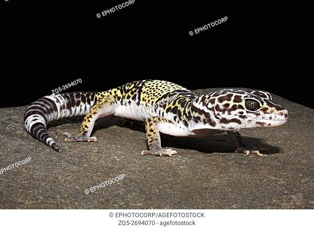 Name: West Indian Leopard Gecko (Eublepharis fuscus) Location: Gautala Wildlife Sanctuary, Aurangabad, Maharashtra