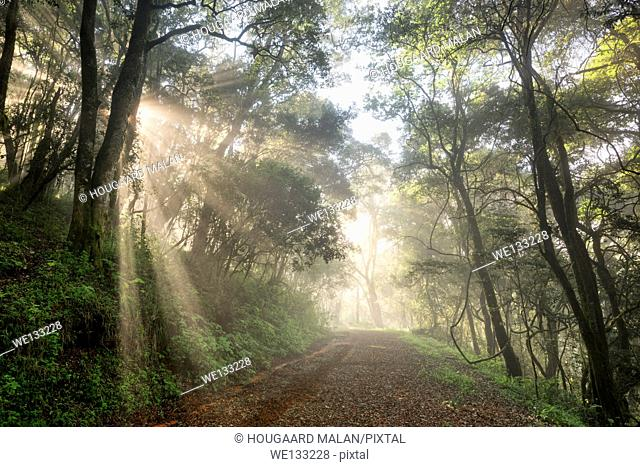 Landscape photo of a road through an indigenous South African forest on a misty morning. Debengeni Falls, Magoebaskloof, Limpopo, South Africa
