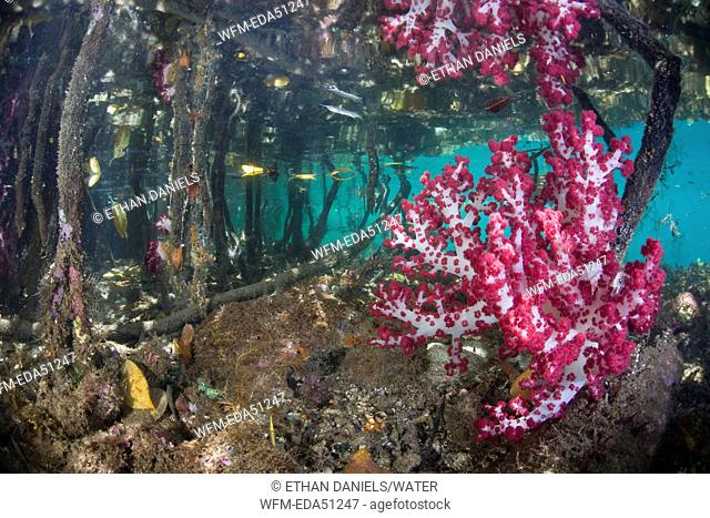 Red Soft Corals in Mangroves, Dendronephthya sp., Rhizophora sp., Raja Ampat, West Papua, Indonesia