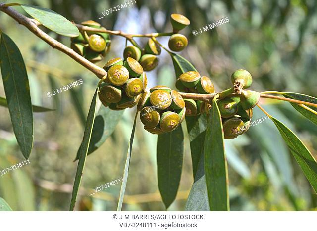 Soap mallee (Eucalyptus diversifolia) is a tree native to Australia. Fruits and leaves detail