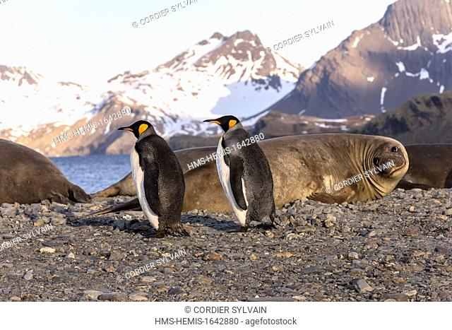 Antarctic, South Georgia Island, Stromness Harbour ,King Penguin (Aptenodytes patagonicus), with Elephant Seal