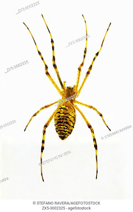 Wasp Spider in resin - Tunisia