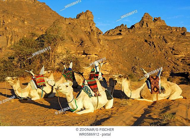 Resting riding dromedaries,Acacus Mountains,Sahara