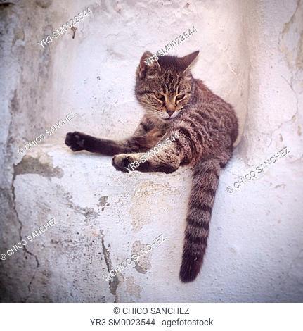 A cat rests in a house in Prado del Rey, Sierra de Cadiz, Andalusia, Spain